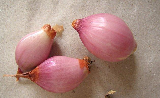 Šalotka staré odrůdy zvaná Mičurinka