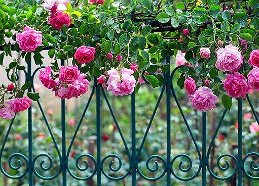 popínavé růže zdobí zdi i ploty