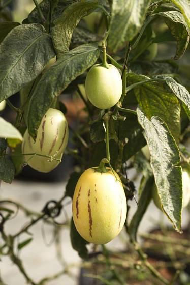 pepíno, Solanum muricatum