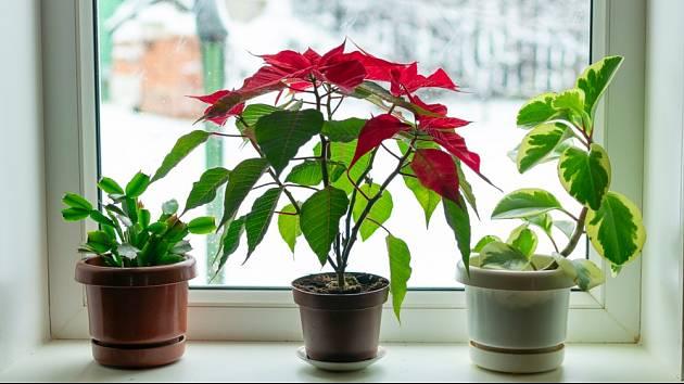 Pokojové rostliny se v zimě snažíme umístit co nejblíže k oknu.