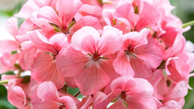 Přihnoje muškáty přáškem do pečení a kochejte se jejich nádhernými květy.
