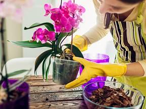 Jen silná a zdravá orchidej nás dokáže odměnit bohatým květenstvím.