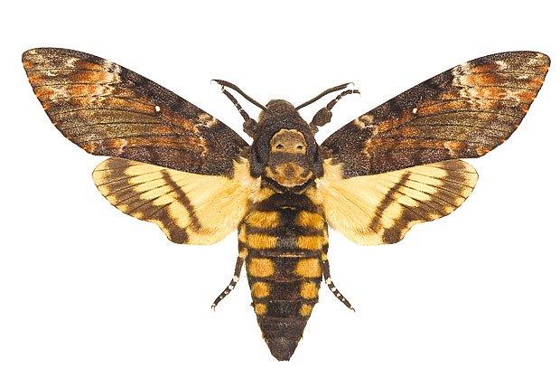 Lišaj smrtihlav (Acherontia atropos)