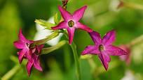 Nálevkovité květy tabáku mají nejčastěji růžovou, červenou nebo bílou barvu.