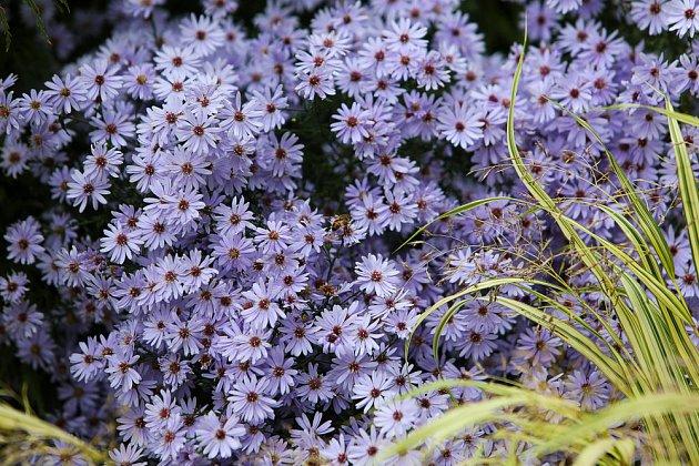 Podzimní zahradu zdobí astry