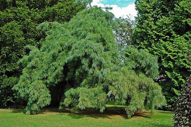 převislý kultivar borovice vejmutovky