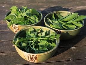 Bršlice kozí noha, smetanka lékařská a jitrocel jsou rostliny jedlé a léčivé