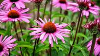 Třapatka nebo také rudbekie (Echinacea).