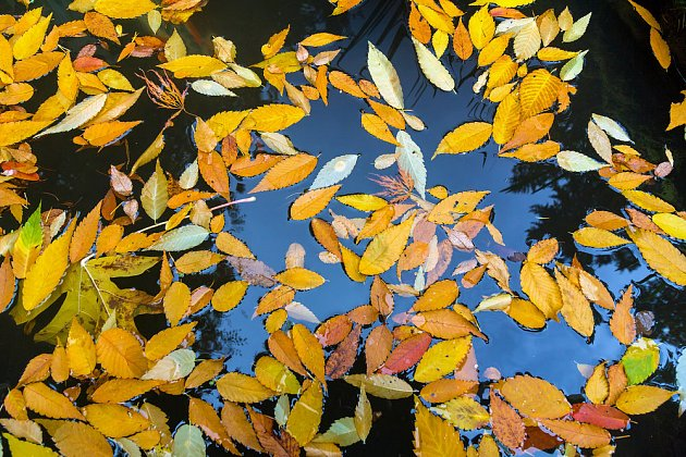 Nežli klesne ke dnu, pluje listí dlouho na hladině jezírka