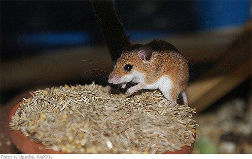 myš africká