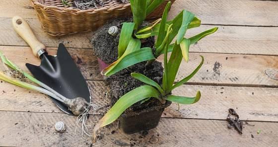 Trsy ze záhonu vyzvednutých odkvetlých hyacintů