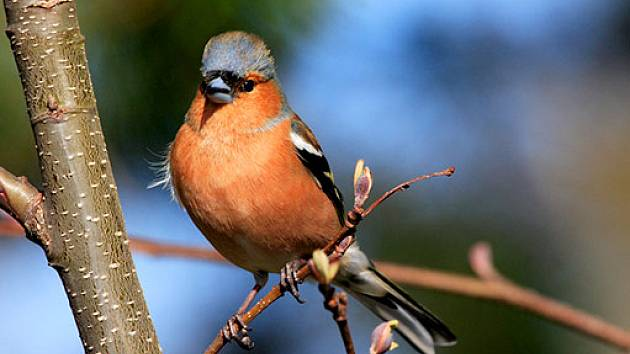 Domácí velké ptáky