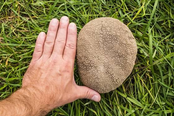 Plešivka dlabaná (Calvatia utriformis), někdy zvaná také pýchavka dlabaná, je jedlá a chutná houba.
