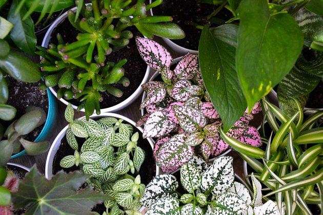 Tlustice, fitónie, potosy a zelence patří k nenáročným pokojovým rostlinám.