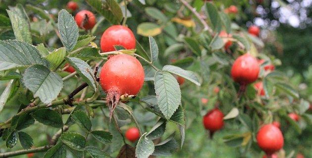 růže jabléčkonosná (Rosa villosa)