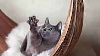 Ruská modrá kočka je velmi hravá.