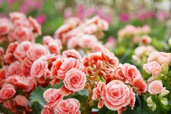 Plnokvěté růžové variety begónií připomínají růže