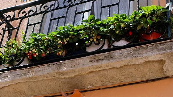 Ovoce z balkónu chutná skvěle