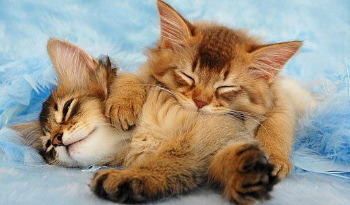koťata somálské kočky