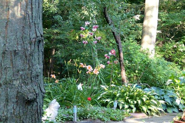 Zastínění pod stromy svědčí i většině lilií, jejichž květy výsadby prozáří
