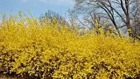 Zlatice může vytvořit i nádherný živý plot.