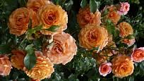 Keřová růže Lambada patří k těm vzrůstnějším. Díky výrazné oranžové barvě vynikne jako solitéra nebo dominantní vyšší keř ve smíšeném záhonu. Lze ji zakomponovat i do kvetoucího živého plotu