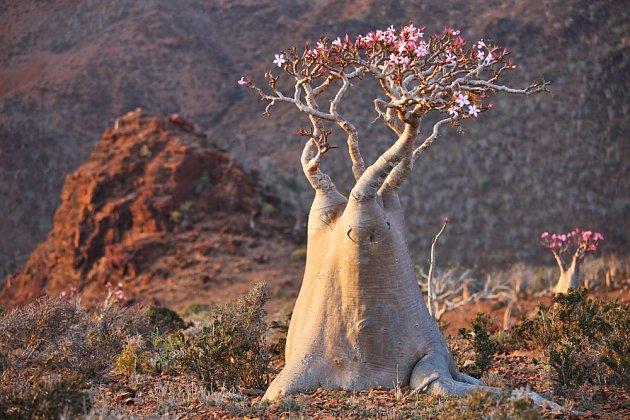 V horkých pouštích dorůstá pouštní růže (Adenium obesum) úctyhodných rozměrů.