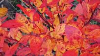 Podzimní zbarvení brusnice chocholičnaté (Vaccinium corymbosum).