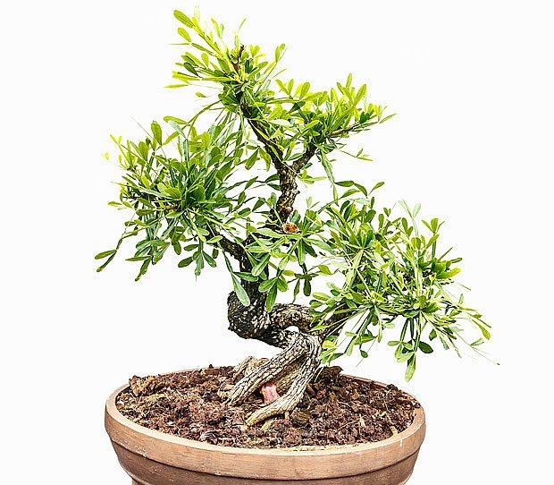 Budhistická borovice, Podocarpus macrophyllus bonsaj