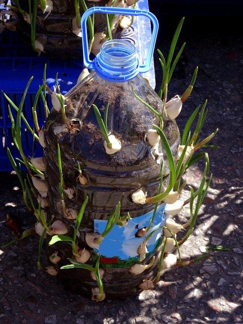 Narašený česnek můžeme vysadit i do upravené plastové lahve.