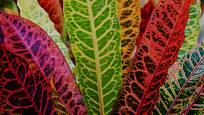 Codiaeum variegatum, kroton