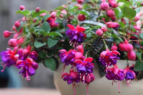 fuchsie v květináči