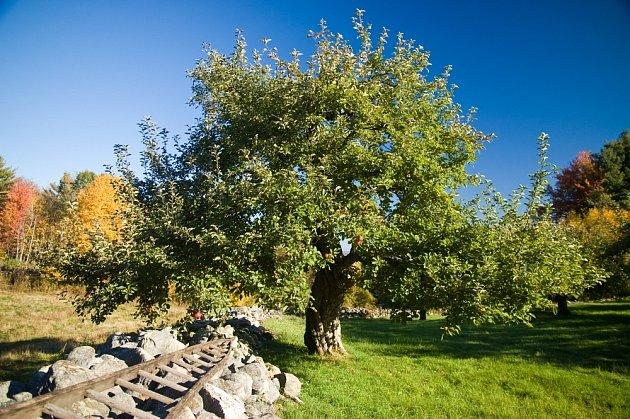 jabloň stará
