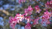 Detail květů stromu Handroanthus impetiginosus, přezdívaného též pink trumpet tree.