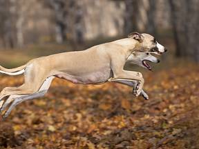 Chrti byli v minulosti využívání k lovu rychlých antilop a gazel.