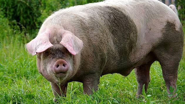 Výsledek obrázku pro prasata