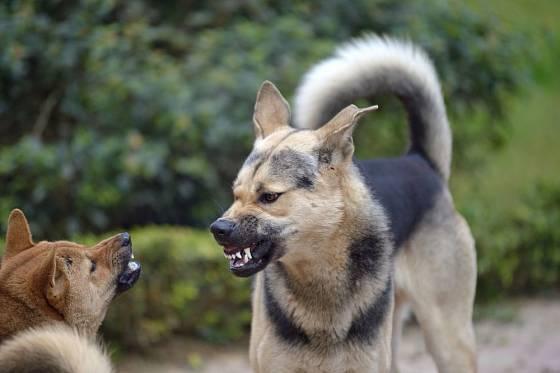 Hrozící pes ohrnuje pysky, cení zuby a hledí druhému do očí