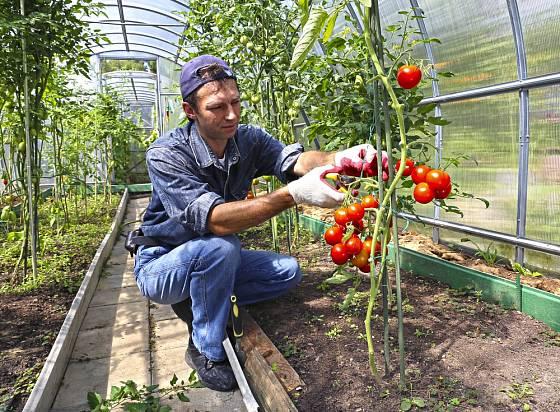 Dozrávající plody rajčat potřebují dostatečný přísun světla.