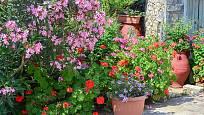 Středozemní rostliny, pěstované v nádobách, musíme před mrazem schovat