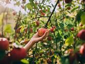 Sbírání jablka