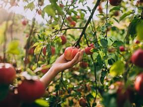 Jak uskladnit jablka v bytě