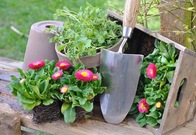 K otužilým květinám patří plnokvěté sedmikrásky chudobky.