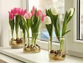 Pěstování tulipánů na parapetu je snadné.
