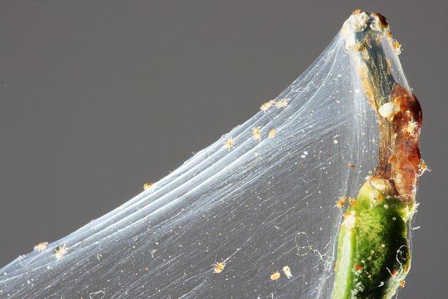 pouhým okem vidíme jen bílé pavučinky, po zvětšení i jejich původce - svilušky na citroníku