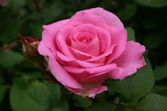 Růže odrůdy Beverly