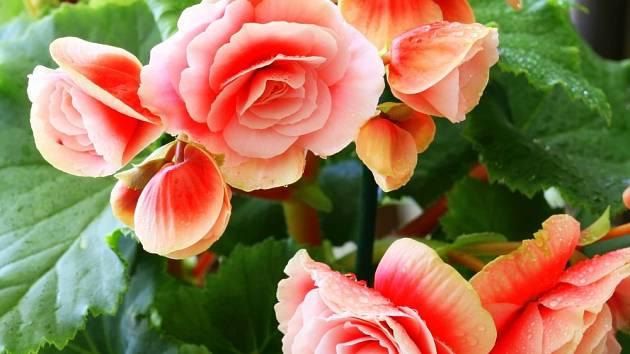 Begonie patří k oblíbeným květinám.