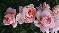 Sadová růže, odrůda Colette