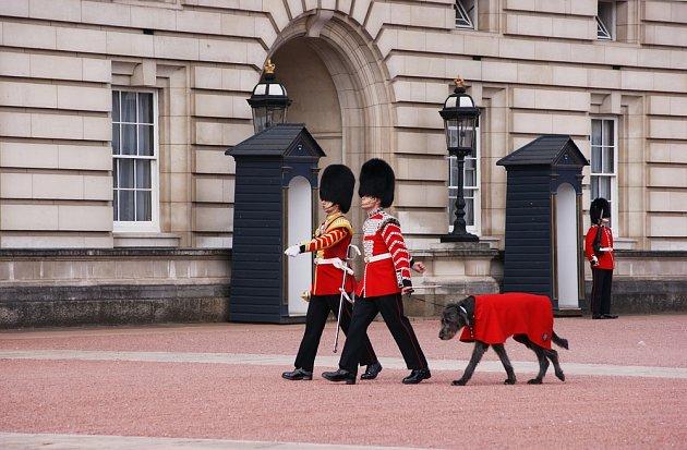 Irský vlkodav v královských službách.