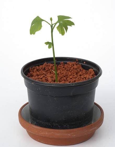 Sazanice jinanu dvoulaločného vypěstovaného ze semene.