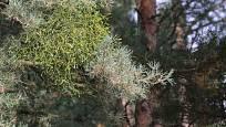 jmelí bílé (Viscum album subsp. austriacum)